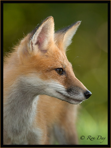 Red Fox Profile, (Vulpes vulpes)